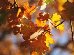 under the oak (Johnson Cameraface) Tags: 2018 november autumn olympus omde1 em1 micro43 meyeroptikgorlitzoreston 50mm m42 f18 manualfocus johnsoncameraface oak leaf yellow
