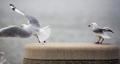Beyond this edge (Keith Midson) Tags: seagulls seagull bird birds leap flying canon 5d sigma 2470mm
