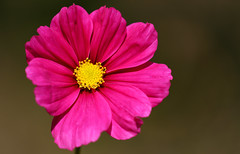 Colouring The Weekend (AnyMotion) Tags: gardencosmos schmuckkörbchen cosmosbipinnatus blossom blüte 2018 floral flowers botanischergarten frankfurt plants pflanzen anymotion 7d2 canoneos7dmarkii colours colors farben pink rosa yellow gelb autumn fall herbst automne otoño macro makro makroaufnahmen