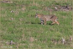 Bobcat on the Hunt 4082 (maguire33@verizon.net) Tags: pointreyesnationalseashore bobcat wildlife pointreyessafaris