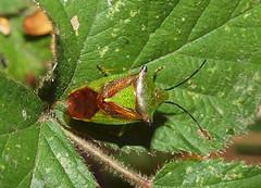 2018_10_0336 (petermit2) Tags: hawthornshieldbug shieldbug stinkbug pottericcarr potteric doncaster southyorkshire yorkshire yorkshirewildlifetrust wildlifetrust ywt