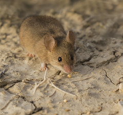 Ratón de campo (Antonio Lorenzo Terrés) Tags: ratón campo fauna parque natural naturaleza nature apodemus sylvaticus 7d canon natures wild wildlife españa 100400 roedor mouse