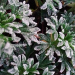 More Frost This Morning! thumbnail
