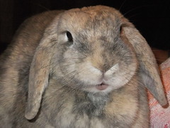 Cutie face (eveliensbunnypics) Tags: bunny rabbit lop lopeared polly okt indoor inside house face closeup mouth mouf lips pink eye eyes lashes eyelashes