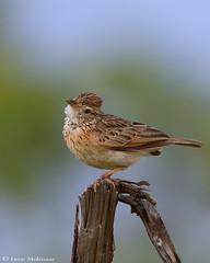 Rufus-naped Lark (leendert3) Tags: select leonmolenaar southafrica krugernationalpark wildlife nature birds rufusnapedlark ngc npc naturethroughthelens coth5