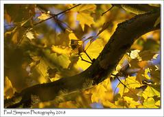 Autumn Leaves (Paul Simpson Photography) Tags: yellow autumn nature tree sunshine sonya77 paulsimpsonphotography leaves leaf yellowleaves fall november 2018 imagesof imageof photoof photosof bluesky sunnyday england naturephotos autumnphotos fallphotos
