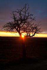 Haugsdorf Sunset 26.12.2018 (Christian Pischinger) Tags: sonnenuntergang abend abendlicht bäume baum weinviertel pulkautal
