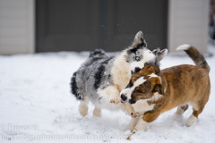 Snow Corgis 4 (Kenjis9965) Tags: sonya7iii sony70200mmf28gm sel70200gm sony a7iii a7 iii 70200 gm 70200mm g master cardigan welsh corgi winter snow playing having fun running ravi luna adorable sweet doggo doge pupper corgo stumper stumps