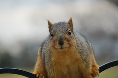 Feeder Bandit (timvandenhoek1) Tags: foxsquirrel missouri midwest birdseed sunflowerseed sonyilce6000 sonye55210mmzoomlens birdfeeder snapseed animal timvandenhoek