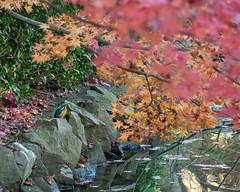 Kingfisher (shinichiro*) Tags: 20181204dsc5945 2019 2018 crazyshin nikon1v3 v3 1nikkorvr70300mmf4556 december autumn winter 薬師池公園 tokyo japan jp bird カワセミ 45768544135 candidate