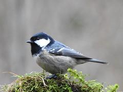 Coal Tit (Periparus ater) (eerokiuru) Tags: coaltit periparusater tannenmeise musttihane bird p900 nikoncoolpixp900