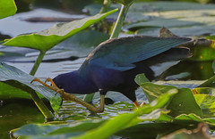 11-12-18-0041943 (Lake Worth) Tags: animal animals bird birds birdwatcher everglades southflorida feathers florida nature outdoor outdoors waterbirds wetlands wildlife wings