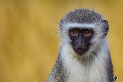 Vervet monkey (SuzieAndJim) Tags: mountainzebra safari naturephotography nature vervet monkey africa southafrica mountainzebranationalpark suzieandjim