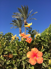 Colourful Canaries (markshephard800) Tags: canaries canarias flowers hibiscus trees palms fiori flores flora blumen fleurs bloemen garden giardino jardin jardim garten tuin