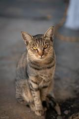猫 (fumi*23) Tags: ilce7rm3 sony street sel85f18 katze gato gatto neko cat chat fe85mmf18 feline 85mm a7r3 animal emount bokeh dof ねこ 猫 ソニー