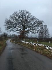 One of my favorite oak (Göran Nyholm) Tags:
