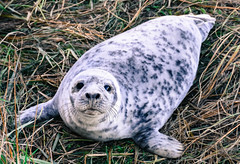 Grey Seal Pup (littlestschnauzer) Tags: grey seal pup young youngster baby weeks old beach coast donna nook nature wildlife british november 2018 uk watching looking big eyes speckled fur coat cute adorable
