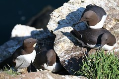 Guillemots -Skomer Island WT -Wales -May18 (Ann Collier Wildlife & General Photographer) Tags: skomerisland skomerislandwt pembrokeshire pembswales wales wildlife wildlifetrust reserve naturalhistory naturereserves wildbirds guillemots birds bird