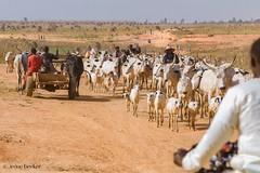 The Road (Irene Becker) Tags: africa arewa imagesofnigeria kaduna kadunastate nigeria nigerianimages nigerianphotos northnigeria westafrica cattle cattleherders northernnigeria village villagelife