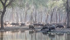 Thirsty (Tris Enticknap) Tags: africa lowerzambezi zambia capebuffalo synceruscaffer