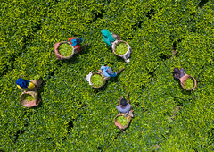 Aerial view of ethiopian people working at green tea plantation, Keffa, Bonga, Ethiopia (Eric Lafforgue) Tags: adults aerialview africa agriculture baskets beautyinnature bonga colourimage day drone eastafrica effort ethiopia ethiopia18dr0117 farmer field fulllength groupofpeople growth harvesting horizontal hornofafrica kaffa keffa labor labour lush men nature outdoors photography pickup pickingup plantation tea teacrop teaplantation women work working et