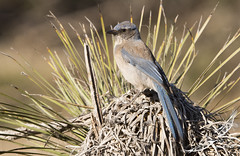Western Scrub Jay (Aphelocoma californica) (Gus McNab) Tags: bird birds aves avifauna usa westernscrubjay aphelocomacalifornica
