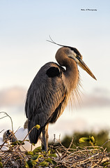 Great blue heron In golden light (Mike_FL) Tags: greatblueheroningoldenlight nikon nikond7500 nature outdor bird photograph image tamron100400 floridawildlife florida wakodahatcheewetlands