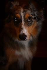 Playing Coy (flashfix) Tags: november302018 2018inphotos flashfix flashfixphotography ottawa ontario canada nikond7100 40mm portrait sock dog canine animal pet austrailanshepherd triaustrailanshepherd bluemerle tricolour heterochromia