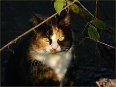 Lapje in the morning sun (joeke pieters) Tags: 1450338 panasonicdmcfz150 lapje poes kat cat kitten