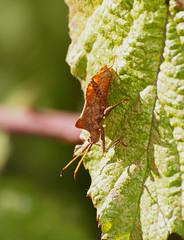 2018_10_0359 (petermit2) Tags: dockbug pottericcarr potteric doncaster southyorkshire yorkshire yorkshirewildlifetrust wildlifetrust ywt