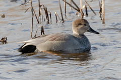 Gadwall Pair (tresed47) Tags: 2018 201812dec 20181204bombayhookbirds birds bombayhook canon7dmkii content delaware ducks fall folder gadwall peterscamera petersphotos places season takenby us