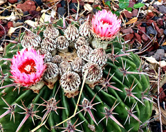 A Thorny Situation - 2 (Gem Images) Tags: usa texas harlingen garden cactus devilspincussion succulent thorn blossom flower