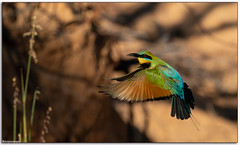Rainbow Bee-Eater (Mykel46) Tags: beeeater bif birds nature wildlife sony a9 100400mmgm green blue yellow red fast flight outside outdoor outdoors bokeh rainbow merops ornatus meropidae