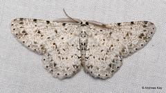 Glena sp.? Boarmiini, Ennominae, Geometridae (Ecuador Megadiverso) Tags: amazon andreaskay ecuador geometermoth geometridae moth orkidealodge rainforest tropic glena boarmiini ennominae