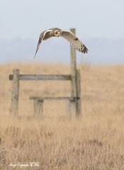 Shorty with stile.! (nondesigner59) Tags: shortearedowl stile hunting bird asioflammeus nature wildlife predator copyrightmmee eos7dmkii nondesigner nd59
