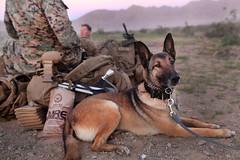 170312-M-KH860-055 (Jay.veeder) Tags: 15thmarineexpeditionaryunit battalionlandingteam militaryworkingdogs 15thmeu blt mwd twentyninepalms california unitedstates us