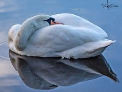 Mute swan & reflection (vickyouten) Tags: muteswan swan swanreflection nature wildlife nikon nikond7200 nikonphotography penningtonflash leigh uk britishwildlife nikkor55300mm vickyouten