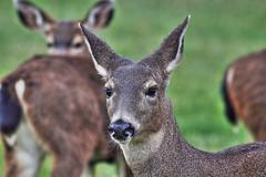 Oh, Deer (murraymike89410) Tags: sequim washington 100400 hdr hss