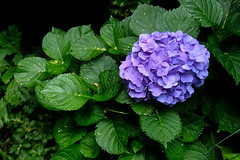 Green hydrangea (Sal Tinoco) Tags: blue flora flower green hydrangea hydrangeas leaf nature outside petal purple