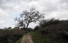 My tree (LeftCoastKenny) Tags: ranchosanantonio hill trees brush grass trail clouds rain puddles water wet