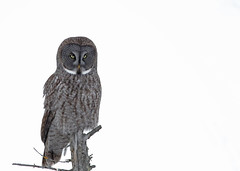 Great Gray Owl...#2 (Guy Lichter Photography - 4.4M views Thank you) Tags: canon 5d3 canada manitoba wildlife animal animals bird birds owl owls greatgrayowl