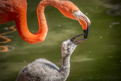 Flamingo Mom & Chick (helenehoffman) Tags: flamingo phoenicopterusruber conservationstatusleastconcern feathers bird sandiegozoo americanflamingo chick wadingbird beak caribbeanflamingo aves