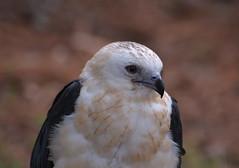 Mississippi Kite (npbiffar) Tags: outdoor animal bird kite mississippi raptor npbiffar 70300mm d7100 nikon portrait whiteblack coth coth5