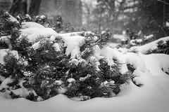 Backyard Snow Photos (Phil Roeder) Tags: desmoines iowa snow snowfall blizzard winter blackandwhite monochrome canon6d canon50mmf18
