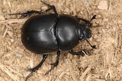 Trypocopris (chug14) Tags: macro insect nature naturephotography animalia arthropoda hexapoda insecta coleoptera scarabaeoidea geotrupidae geotrupinae trypocopris