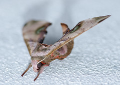 DSC_0663 (tankokher) Tags: 100mm tokina home d7000 closeup macro nature insect moth