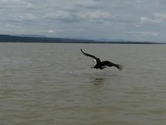Fishing fish eagle (13) (Linda DV) Tags: lindadevolder africa 2018 lumix travel geotagged nature kenya fauna baringo lake