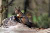 Hoernchen-2018-3163.jpg (Joachim Dobler) Tags: eichhörnchen eichhoernchen squirrel écureuil ardilla scoiattolo esquilo nature natur nagetier esquito wildlife animal cute naturephotography squirrellove wildlifephotography bestsquirrel nutsaboutsquirrels cuteanimals
