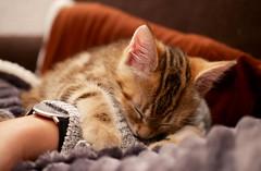 (An Arzhig) Tags: sleepy cat kitty chat chaton dormeur endormi panasonic lumix gx800 animal 50mm