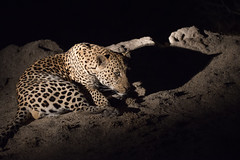 Night Drive (thethoughtbadger) Tags: princeofdarkness leopard dazzle leopardsspots sabisands knp arathusasafaricamp naturepoetry